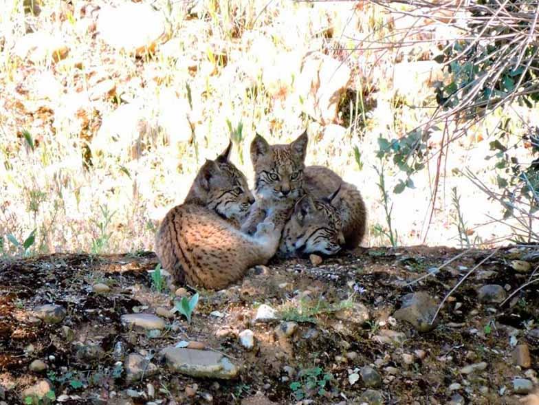 Un total de 70 crías de lince ibérico han nacido en estado salvaje en CLM